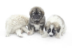Romanian shepherd puppies. In a snowy winter day Royalty Free Stock Images