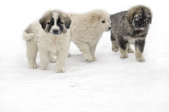 Romanian shepherd puppies. In a snowy winter day Stock Photo