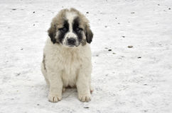 Romanian shepherd puppy Stock Image