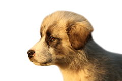 Romanian shepherd puppy over white Royalty Free Stock Photos