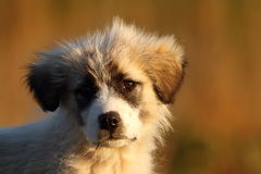 Romanian shepherd puppy portrait Stock Photography