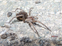 Romanian tarantula with babies Royalty Free Stock Photography