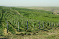 Romanian vineyard Royalty Free Stock Images