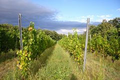 Romanian vineyard Stock Photography