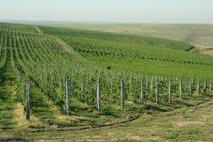 romanian vingård Royaltyfria Bilder