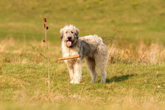Romanian white shepherd dog Royalty Free Stock Images