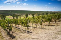 Romanian wineyard hills Stock Photos