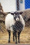 Romanov sheep in the paddock Royalty Free Stock Image