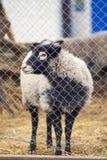 Romanov sheep in the paddock Stock Photography