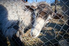 Romanov sheep in the paddock Stock Image