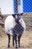 Romanov sheep in the paddock Royalty Free Stock Photos