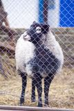 Romanov sheep in the paddock Royalty Free Stock Photography