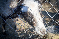 Romanov sheep in the paddock Royalty Free Stock Images