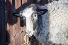 Romanov sheep in the paddock Royalty Free Stock Photo