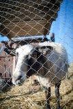 Romanov sheep in the paddock Stock Photo