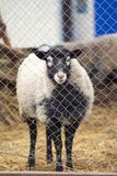 Romanov sheep in the paddock. Romanov sheep breed in a pen at the home farm in Australia Stock Images