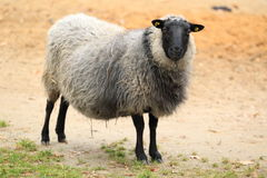 Romanovian sheep Royalty Free Stock Photos