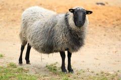 Romanovian sheep. The gazing adult romanovian sheep Royalty Free Stock Photos