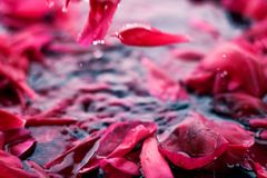 Romantic abstract floral background, pink flower petals in water. Beauty of nature, dream garden and wedding backdrop concept - Romantic abstract floral royalty free stock image