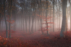 Romantic afternoon light into a foggy forest Royalty Free Stock Photos