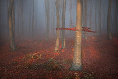 Romantic afternoon light into a foggy forest Royalty Free Stock Photo