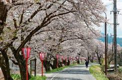 Romantic archway of flourishing cherry blossoms ( Sakura Namiki ). And traditional Japanese lamp posts along a country road in Maniwa, Okayama, Japan royalty free stock photo