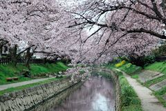 Romantic archway of pink cherry tree blossoms Sakura Namiki by the small river bank in Fukiage City Royalty Free Stock Image