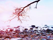 Romantic atmosphere,  colorful sunset at sea. Stony beach with bended tree and pink sky Stock Image