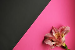 Romantic background. One flower on a white background and a pink background Stock Image