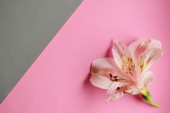Romantic background. One flower on a white background and a pink background Royalty Free Stock Images
