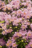 Romantic background of pink flower. Chrysanthemum flowers in shades of pink tightly huddled together. Beautiful background for greeting card. Gentle Stock Photos