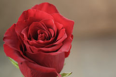 Romantic background with red rose on wood table Royalty Free Stock Photos