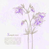 Romantic background with violet aquilegia Stock Image