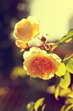 Romantic background, yellow rose, summer flower Royalty Free Stock Images