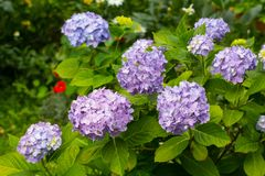 Romantic and beautiful blue hydrangea in the home garden. Close up stock photos