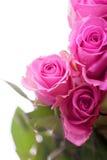 Romantic beautiful  pink roses Royalty Free Stock Photos
