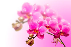 Romantic beautiful purple orchid flower Royalty Free Stock Images