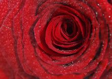 Romantic and beautiful red Rose. I sprayed water on the rose and took a close-up picture Royalty Free Stock Photo
