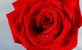 Romantic and beautiful red Rose. I sprayed water on the rose and took a close-up picture Stock Images