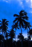 Romantic blue sunset on a Caribbean beach full of. Romantic blue sunset full of tall palm tree Royalty Free Stock Images