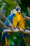 Romantic blue and yellow macaws. Photo of romantic blue and yellow macaws kissing Royalty Free Stock Image