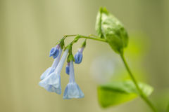 Romantic Bluebell Flowers In My Garden Royalty Free Stock Photography