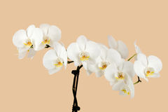 Romantic branch of white orchid on beige Stock Images