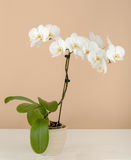 Romantic branch of white orchid on beige Royalty Free Stock Photo