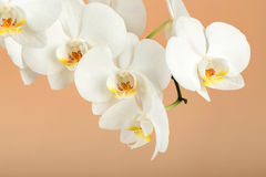 Romantic branch of white orchid on beige Stock Photo