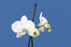 Romantic branch of white orchid Royalty Free Stock Photography