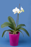 Romantic branch of white orchid Royalty Free Stock Images