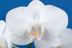 Romantic branch of white orchid Stock Image