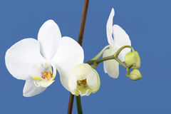 Romantic branch of white orchid Stock Photography