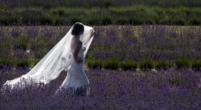 Romantic bride wearing white dress and covered in a veil which catches the light, standing amongst rows of lavender on a flower fa stock image